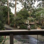 My Crazy Kookaburra